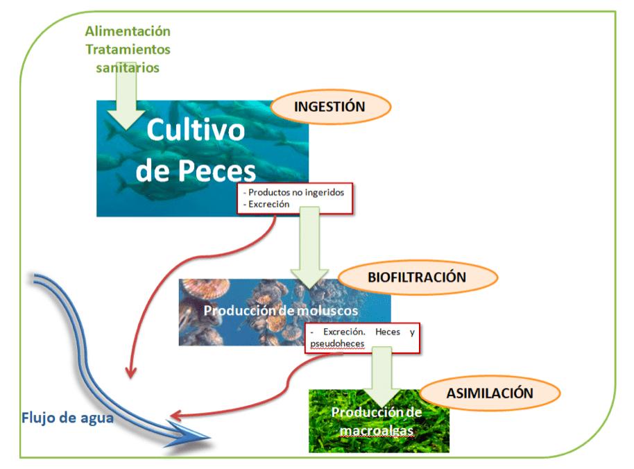 imagen del proceso de cultivo de peces explicado de manera esquemática para el sistema multitrófico