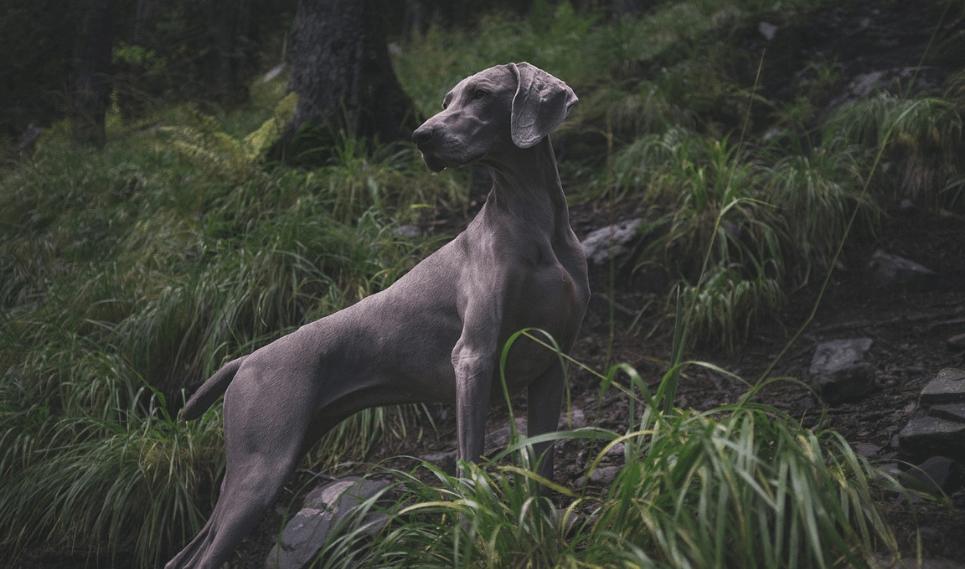 hunting dog image